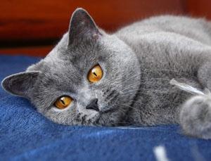 непроходимость кишечника у кота